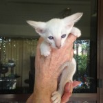 Lilac Point Siamese Male