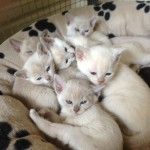 Lilac and Chocolate Burmese Available
