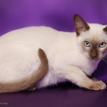 Tonkinese 1210 Credit