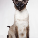 Rondah, Seal Point Siamese