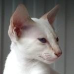 Zara, Lilac Tabby Point Siamese