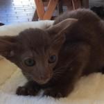 Oriental Kitten Available Now