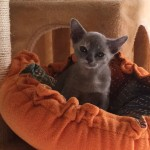 Blue Tortie Burmese Available Now