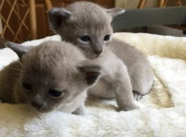 Blue Burmese Male and Female. Born 10-1-2017