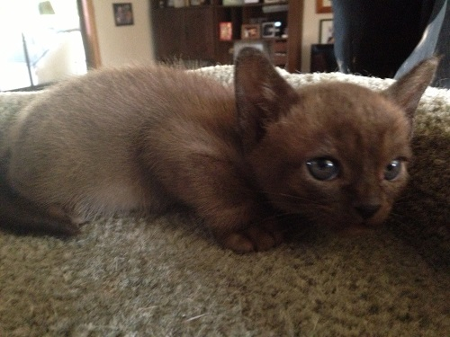 Brown Burmese Male and Femaile Born 17-1-2017