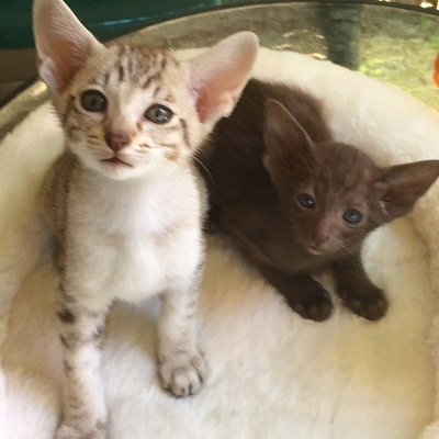 Orientals Spotted Tabbie and Chocolate, Born 22-11-2016