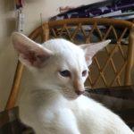 Siamese Lilac Point, Born 5-11-2016