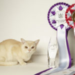 Bajimbi Creme Beau Dazzle, Best Kitten Supreme Exhibit Ring 3, Then Best Exhibit in Show, Sydney Royal Easter Show, Kitten Carnival 2017