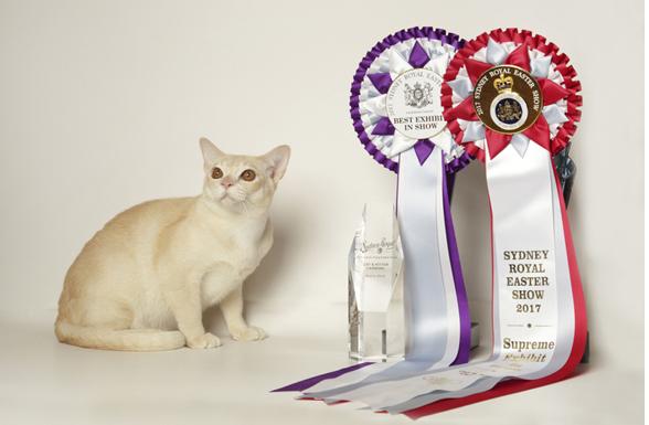 Bajimbi Creme Beau Dazzle, Best Kitten Supreme Exhibit Ring 3, Then Best Exhibit in Show, Sydney Royal Easter Show, Kitten Carnival 2017