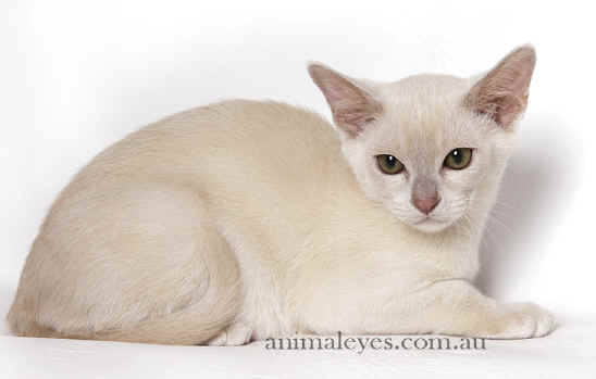 Burmese cat dubai